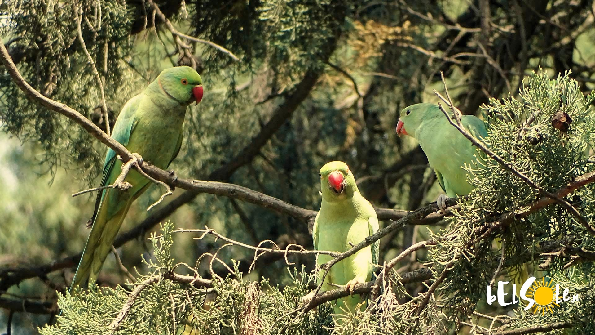 Papugi w Sewilli