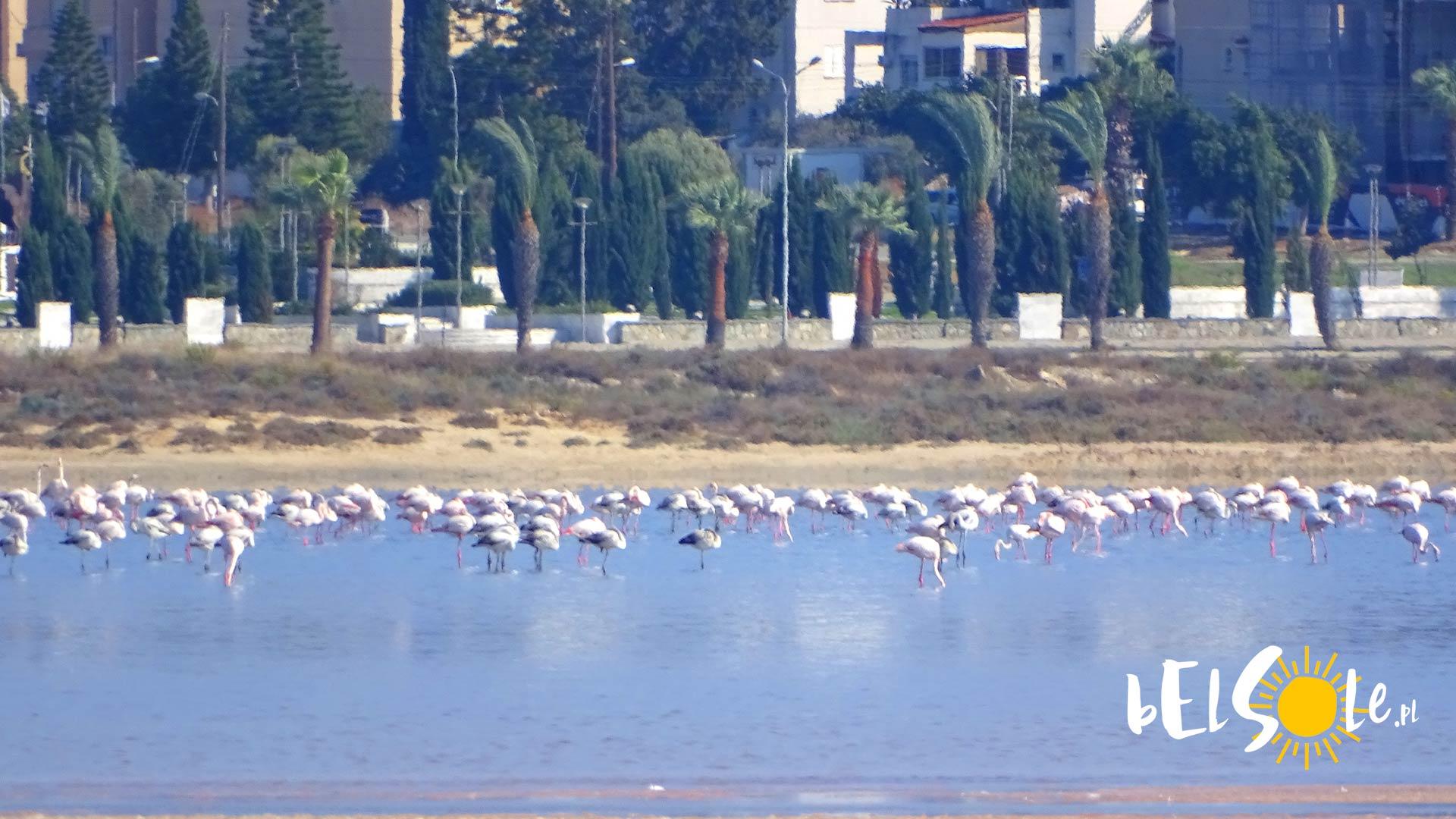 Flamingi Larnaka