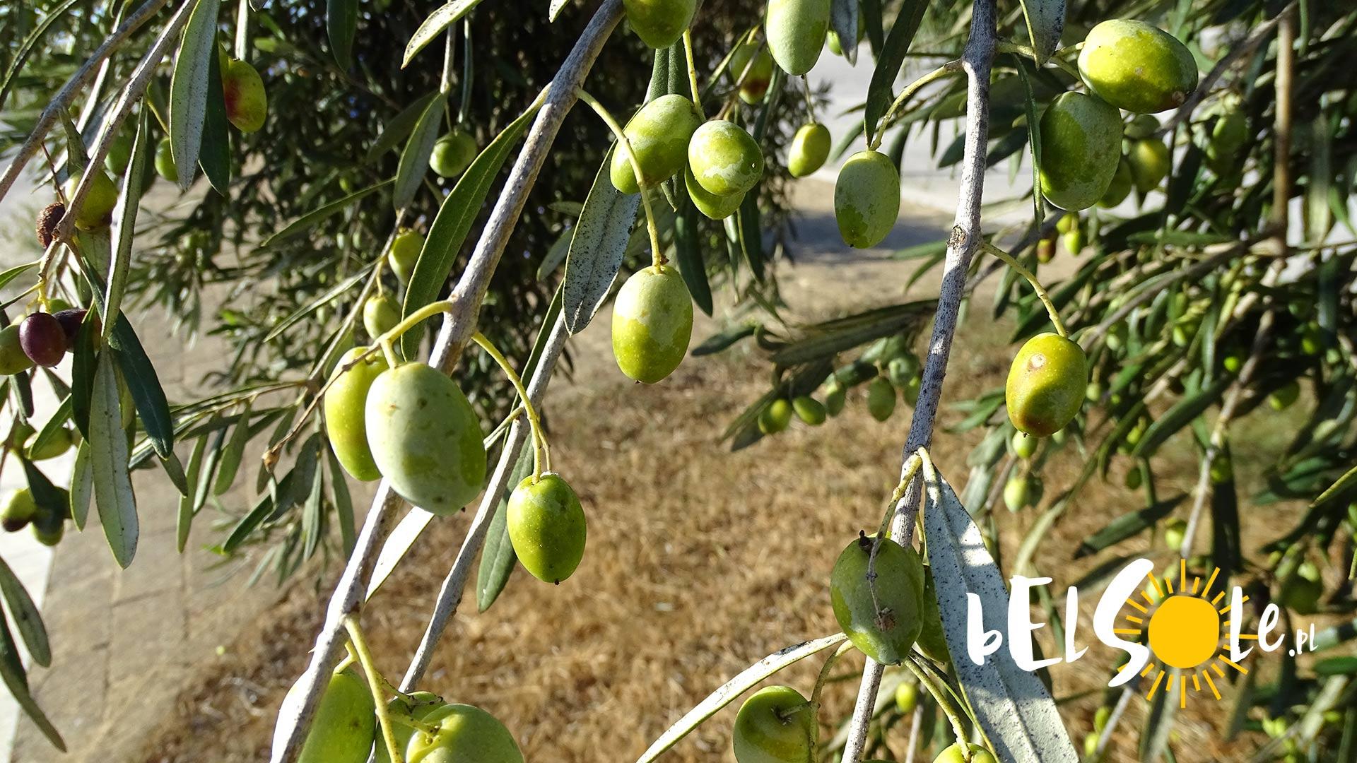 oliwki sycylia