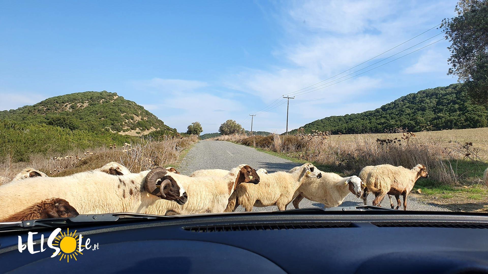 Cypr owce