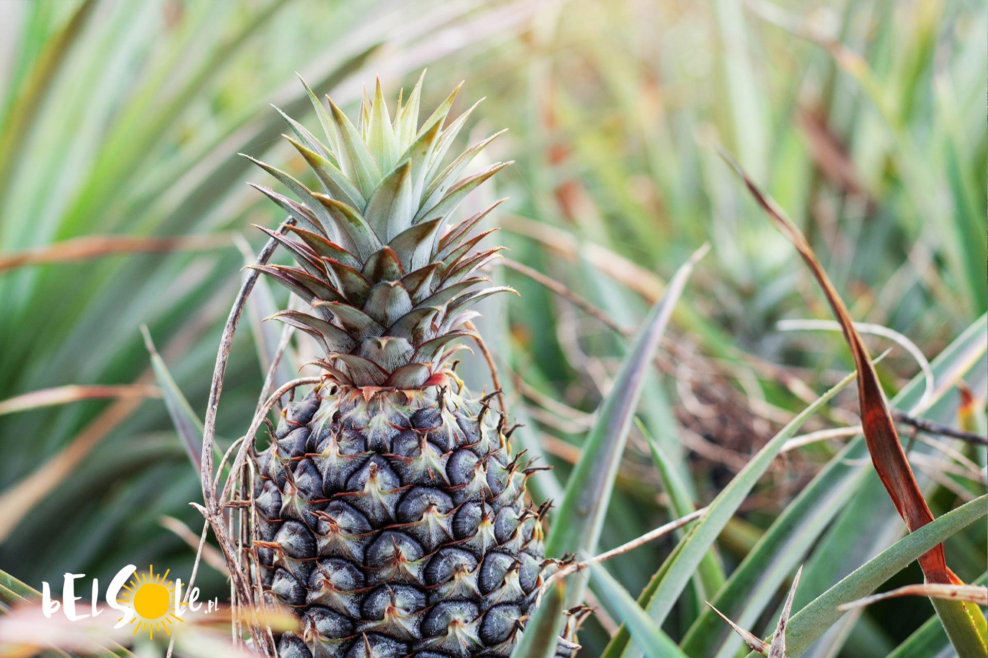 plantacje ananasów na Azorach