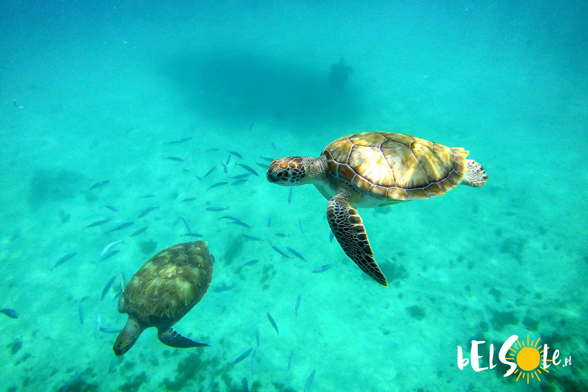 żółwie Karetta
